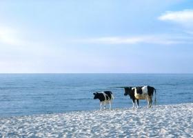 Strandkühe auf der Kurischen Nehrung